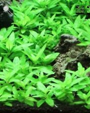 Staurogyne Repens – Foreground Carpet Aquarium Plant Fish Tank Decor Live Plant