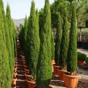 Italian Cypress Tree Seeds (Cupressus sempervirens) 25+Seeds
