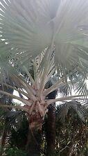 10 SEEDS Bismarckia  BISMARKIA NOBILIS SILVER BISMARK PALM TREE SEED