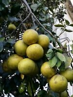 toronja  trees, Grapefruit tree, live plant fruit 2'' to 5''