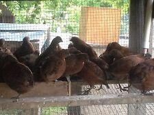 60 Tennessee Red Bobwhite Quail Hatching Eggs