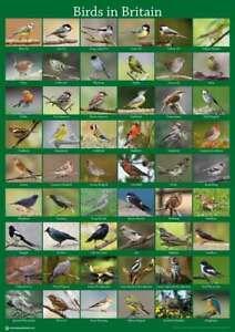 British Wild Birds Poster A2 59x42cm Garden Bird Watching Guide Feeder BLPA2P11
