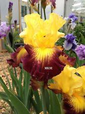Tall Bearded Iris ~Snapshot~