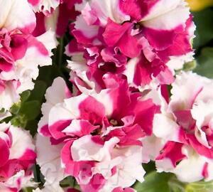 Petunia Pirouette Pink F1 Flower Seeds from Ukraine
