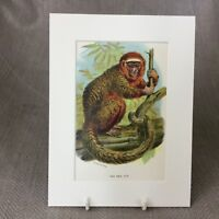 1896 Red Titi Monkey Original Antique Victorian Chromolithograph Print