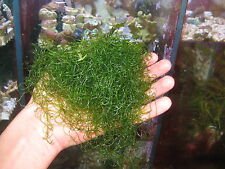 algue chaetomorpha  anti nitrates/phosphates pour aquarium recifal et refuge