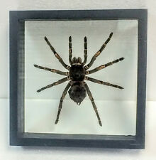 HUGE TARANTULA IN DOUBLE-GLASS BLACK WOOD FRAME,ARACHNIDA,SPIDER,TAXIDERMY