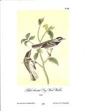 Black-Throated Grey Wood-Warbler Vintage Bird Print John James Audubon ABONA#102