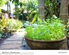Indio wassernabel gotU Kola Centella asiatica tiger hierba 50 semillas