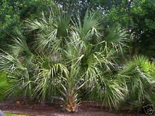 Palmen, Sabal palmetto