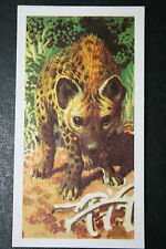 Spotted Hyena   Vintage Illustrated Colour Card  VGC