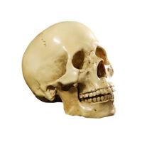 Realistic Human Skull Model Anatomical  Skeleton Halloween Yellow