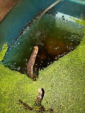 20 Live pond snails (Bladder snails) Usa breeder! S-M-L, feeder/algea cleaner!