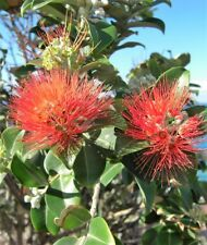Metrosideros Tahiti in 50mm forestry tube perennial plant hedge