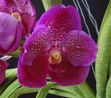 V. Somsri - Red Pink Vanda Orchid