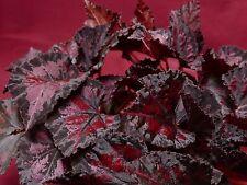 "Begonia Pflanze Harmonie ""Black Beauty 4"" Pot Rex"