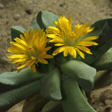 Broad Leaf Bijlia Arid Living Perennial Mat-forming Succulent YellowFlower