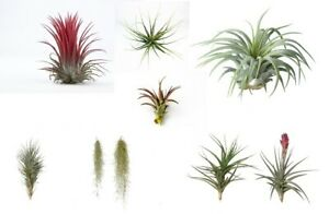Air Plants 3 Different Mixed Air Plants - House Plants Healthy Tillandsia Tillys