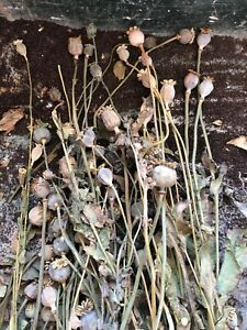 """15 SMALL DRIED POPPY HEADS WITH SEEDS.NOT SPRAYED.APPROX 10"""""""