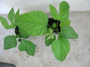 (Trevesia palmata) 6 inch tall seedling plant