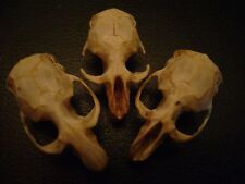3 BLIND MICE real rat skulls HALLOWEEN CRAFTS taxidermy display BONES animal lot