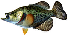 """Sport Fish Replica - 17"""" CRAPPIE WALL MOUNT - Half Cast for the Budget Minded!"""