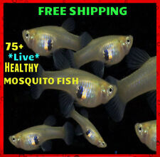 75+ Live Gambusia Mosquito Fish Aquarium and Pond Feeder Fish Hardy Guppy
