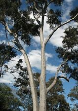 Eucalyptus maculata ( gum tree) syn Corymbia in 50mm forestry tube