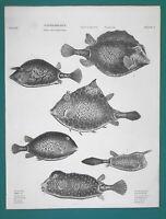 FISHES Genus Ostracion Trunk Fish - 1820 A. REES Antique Print