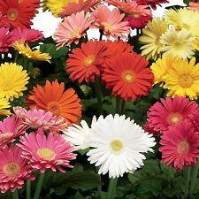 100Pcs Gerbera Jamesonii Flower Seeds Daisy Barberton Transvaal Bonsai Colorful