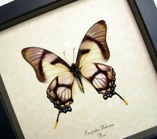 Real Framed Eurytides Dolicaon Verso Dolicaon Swordtail Butterfly 495