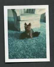 Vintage Polaroid Color Photo Australian Silky Terrier Pet Puppy Dog 441030