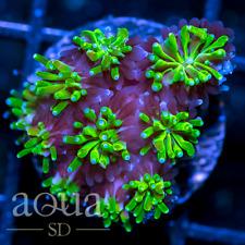 New listing Asd - 121 Goosebumps Galaxea - Wysiwyg - Aqua Sd Live Coral Frag