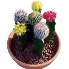 10pcs/bag mixed color rare succulent plant Succulent Cactus Seeds Lithops. HOT