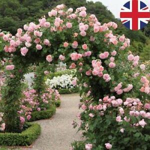 PINK CLIMBING BOWER ROSE SEEDS GARDEN PLANT GARDENING 20% OFF WITH MULTIBUY