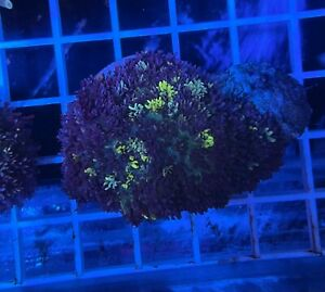 Magic Carpet Mushroom Coral WYSIWYG