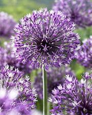 Allium rosenbachianum - 20 Samen-seeds - Zierlauch - Paukenschläger-Lauch