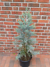 """Blauer Mammutbaum, Höhe: 90-100 cm, Sequoiadendron giganteum """"Glaucum"""" + Dünger"""