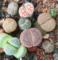 SEEDS Lithops  aucampiae  50seeds C54