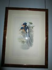 Original John Gould Kingfisher Lithograph (framed)
