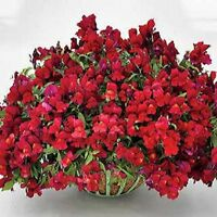 Snapdragon Seeds Candy Showers Red 15 Multi Pelleted Seeds Trailing