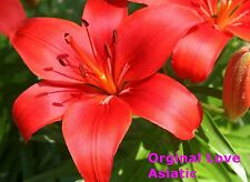 """10x Asiatic Lily Bulbs """" Original Love """" Red. Flowering Sized Bulbs"""