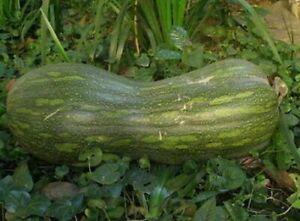 15 seeds of NAPLES YELLOW PUMPKIN + FREE