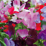 10 Sweet Pea , Early Multiflora Mix seeds * Colorful * Fragrant * CombSH M53