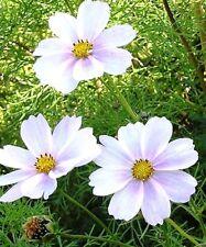 COSMOS BIPINNATUS SENSATION - PURITY WHITE - 450 HIGH QUALITY FLOWER SEEDS