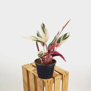 "Pink TRIOSTAR Stromanthe 4.5"" inch White Pot Calathea Prayer Plant House Plants"