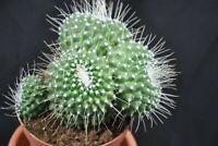 Kakteen,Mammilaria unPico,sehr verzweigte Pflanzen,13er Topf,Nr.40