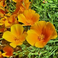 200+ CALIFORNIA POPPY GIANT ORANGE SEEDS - FRESH FLOWER GARDEN