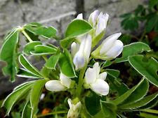 """Blaue LUPINE """"Süßlupine"""" schmalblättrige Lupine Lupinus angustifolius, essbar"""