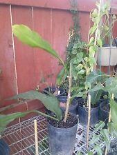 """Epiphyllum Oxypetalum - Queen Of The Night - 1  Feet Long - Ship in 4"""" Pot"""